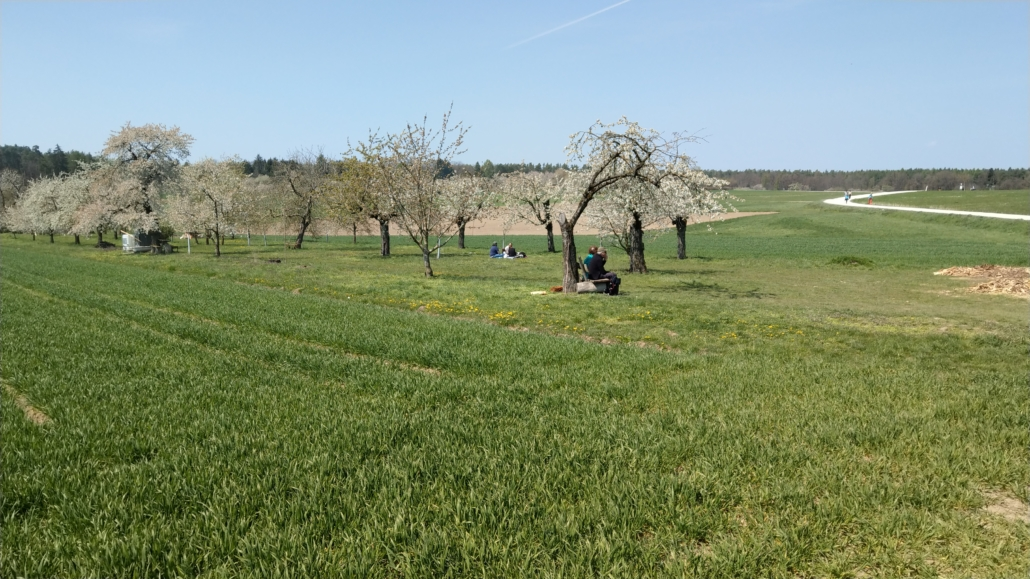 viele blühende Kirschbäume