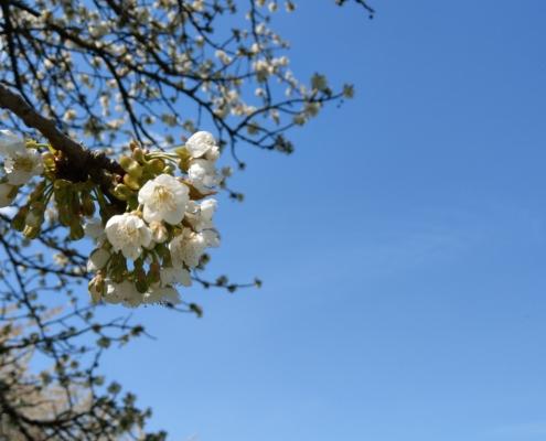 Kirschblüte mit blauen Himmel im Hintergrund