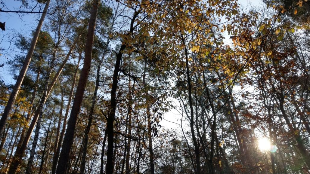 Waldlehrpfad Blick durch die Baumkronen