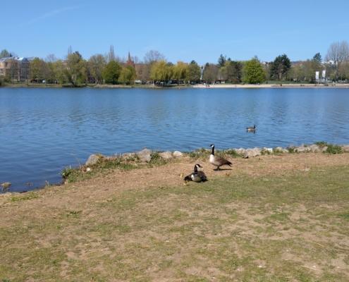 Nachwuchs am Wöhrder See